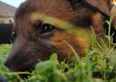Nemecký ovčiak pes