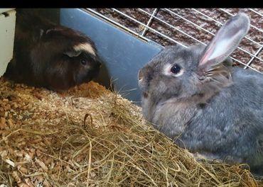 Zajac+morča