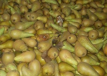 Hrušky na kvas 0.38€/kg
