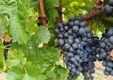 Predám kvalitné hrozno - Merlot, Pinot noir