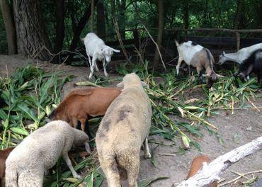 Predám kamerunské ovce barana