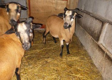Kamerunske ovce..baran.