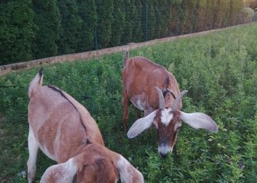 Anglonubijske kozy