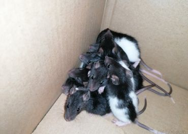 Darujem potkany