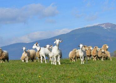 Predám ovce Romney Marsh - Kent