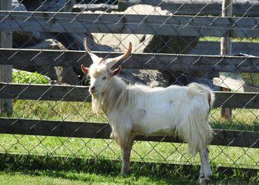 ponúkam na predaj koza girgentánska a holandská minikoza