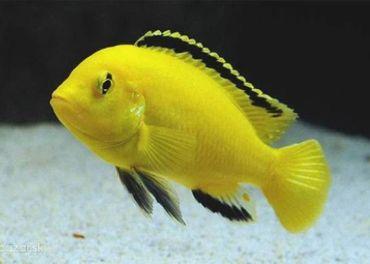 Kupim väčšie Labidochromis yelow.