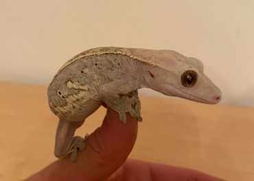 Pagekon riasnatý (Rhacodactylus ciliatus)
