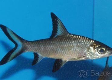 Kúpim tieto druhy rybičiek.