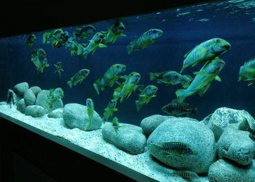 Petrochromis Macrognathus Kasanga WF