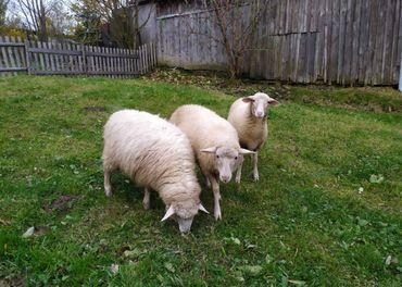 Predám dve ovečky