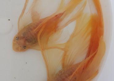 Ancistrus L144 longfin
