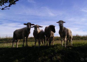 Ovce + koza spolu 180e