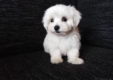 Maltezák mini psík.-rezervovaný-.