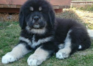 Tibetská doga-šteniatka k odberu po 15.11.