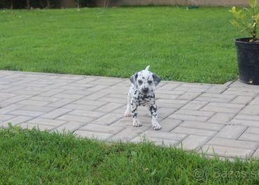 šteniatka dalmatinca