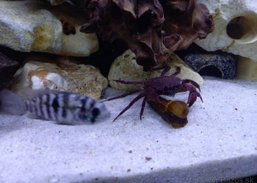 Fialový Matano krab