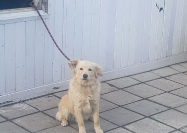 Darujem psa krizenca zlateho totweliera