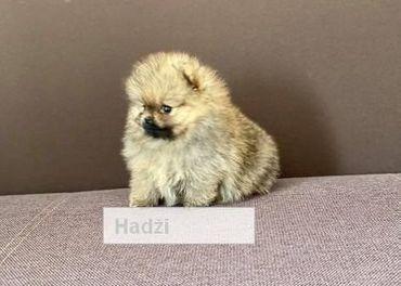 Nemecký špic/ Pomeranian