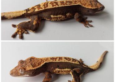 Rhacodactylus ciliatus - Pagekon Riasnaty 0.1