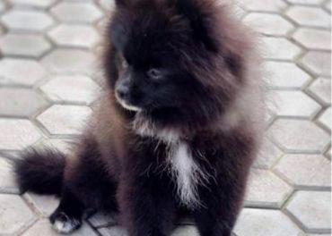 Pomeranian spic