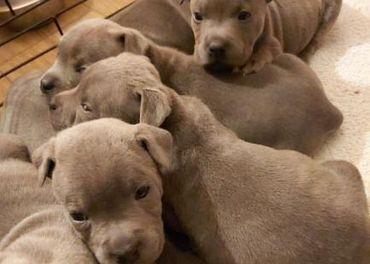 Modré šteniatka na predaj