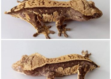 Rhacodactylus ciliatus - Pagekon Riasnaty 1.0
