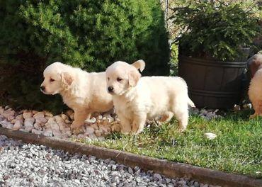 Zlatý retriever - šteniatko