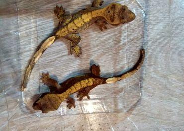 Pagekon riasnaty Rhacodactylus ciliatus