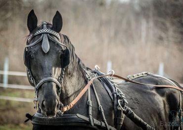 Čierny žrebec do záprahu, výkonnosť ST