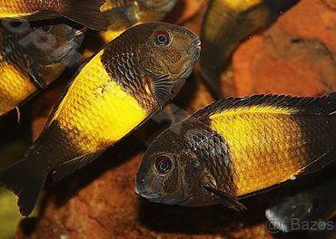 Predám ryby rodu TROPHEUS