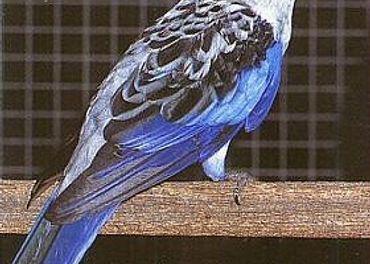 Kúpim samicu penanta modrého 2020