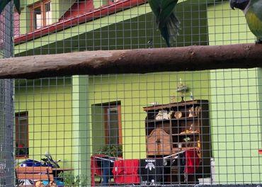Predám alexander čínsky, papagáj kráľovsky