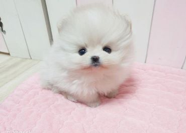 Luxusné šteniatko pomeranian mini