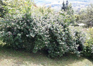 Černica veľkoplodá bez ostňov - sadenice