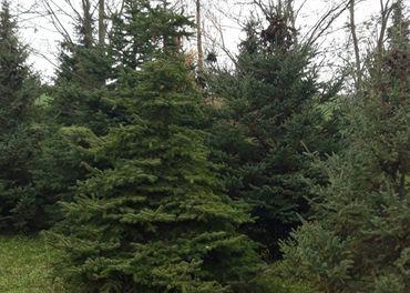 Predam vianočné stromčeky aj chvojinu