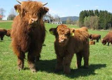 lacno predám býka