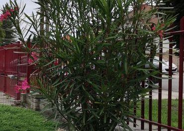 Oleander 220cm