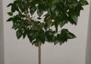 Činske ruže - 30-35 ročné