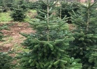 Vianočný stromček - normandská jedľa